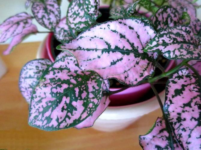 Гипоэстес — удивительное и эффектное растение родом из мадагаскара