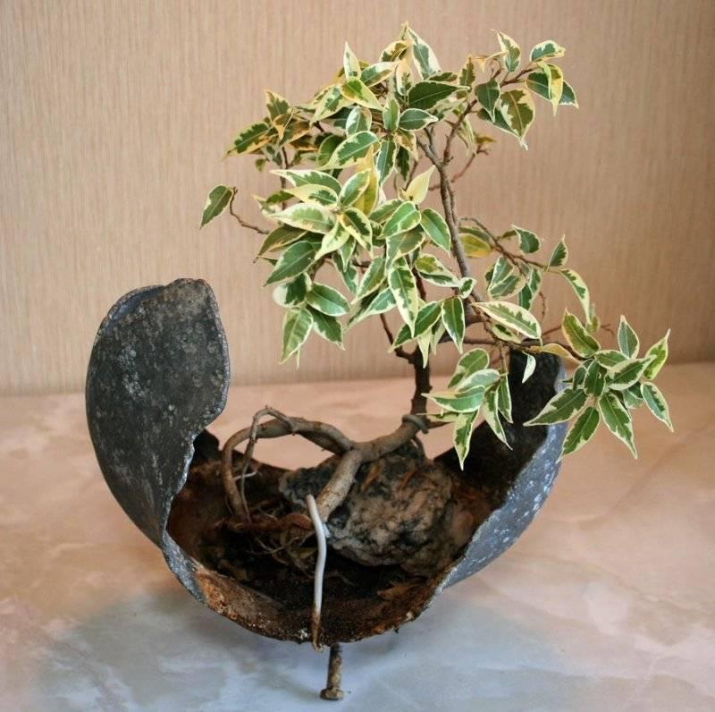 Бонсай (ниваки) из можжевельника своими руками