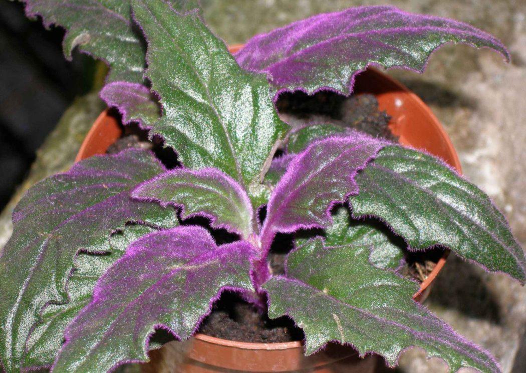 Цветок «гинура»: фото, виды, уход в домашних условиях