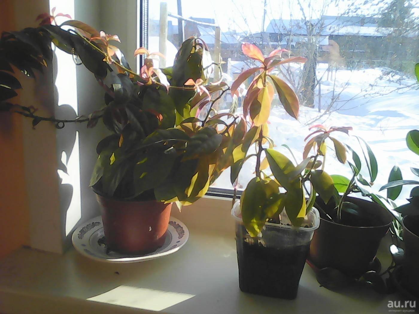 """""""переския"""": уход в домашних условиях за листовым кактусом, виды с фото: шиповатая, годсеффа"""
