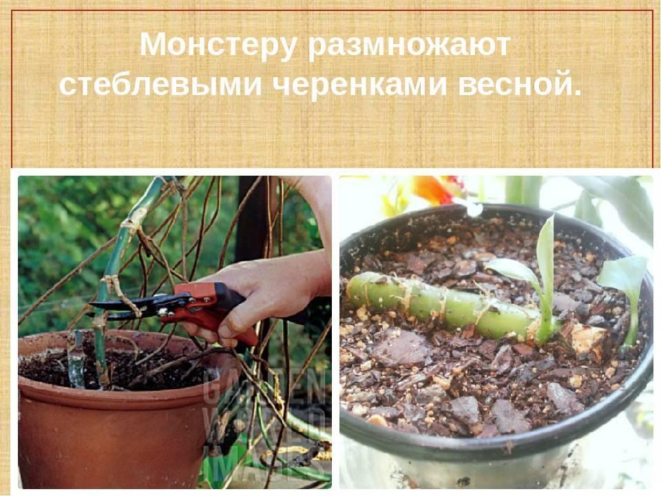 Броваллия — выращивание в домашних условиях из семян и черенков, а также советы по уходу за цветком и самые частые ошибки