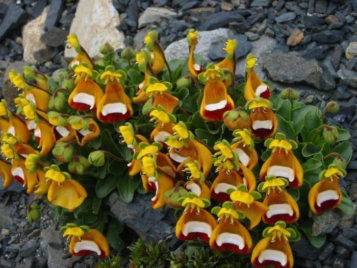 Выращивание кальцеолярии к 8 марта. цветок кальцеолярия. посадка и размножение