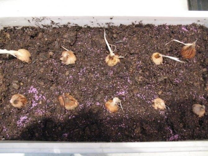 Спараксис: описание, посадка и уход, размножение, ландшафт - читайте на орхис