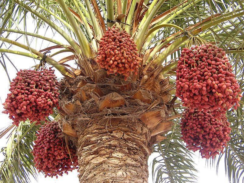 Финик из косточки – как посадить и прорастить финиковую пальму в домашних условиях (инструкция + фото)