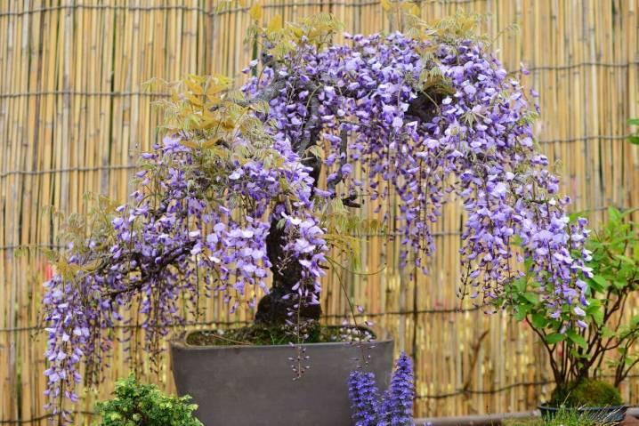 Все тонкости о цветении глицинии, фото и видео