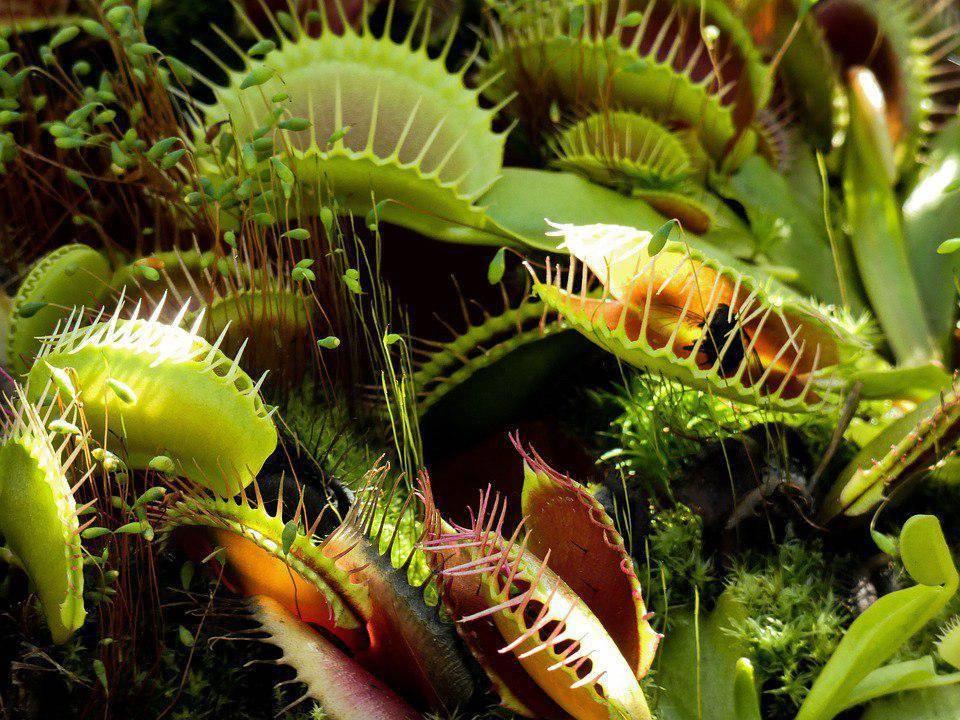 Растение-хищник: виды, фото. насекомоядные растения. плотоядные растения