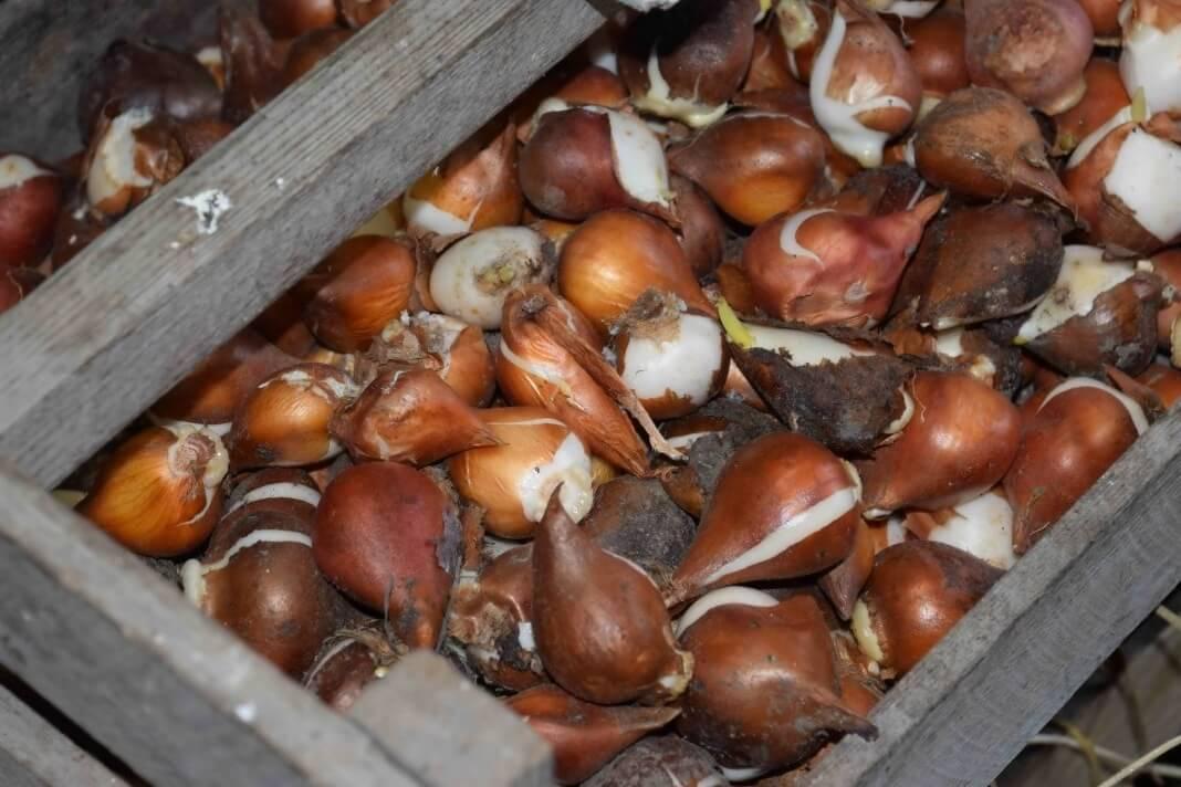 Как выбрать и хранить луковицы тюльпанов до посадки - энциклопедия цветов