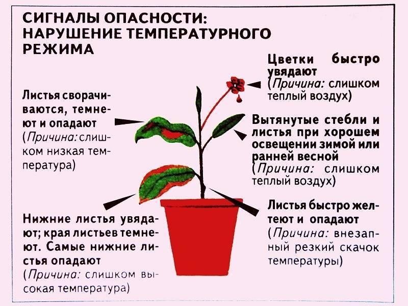 Бакопа Монье (Bacopa Monnieri): описание и свойства растения