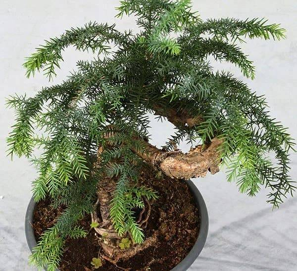 Вечнозеленая хвоя араукария чилийская