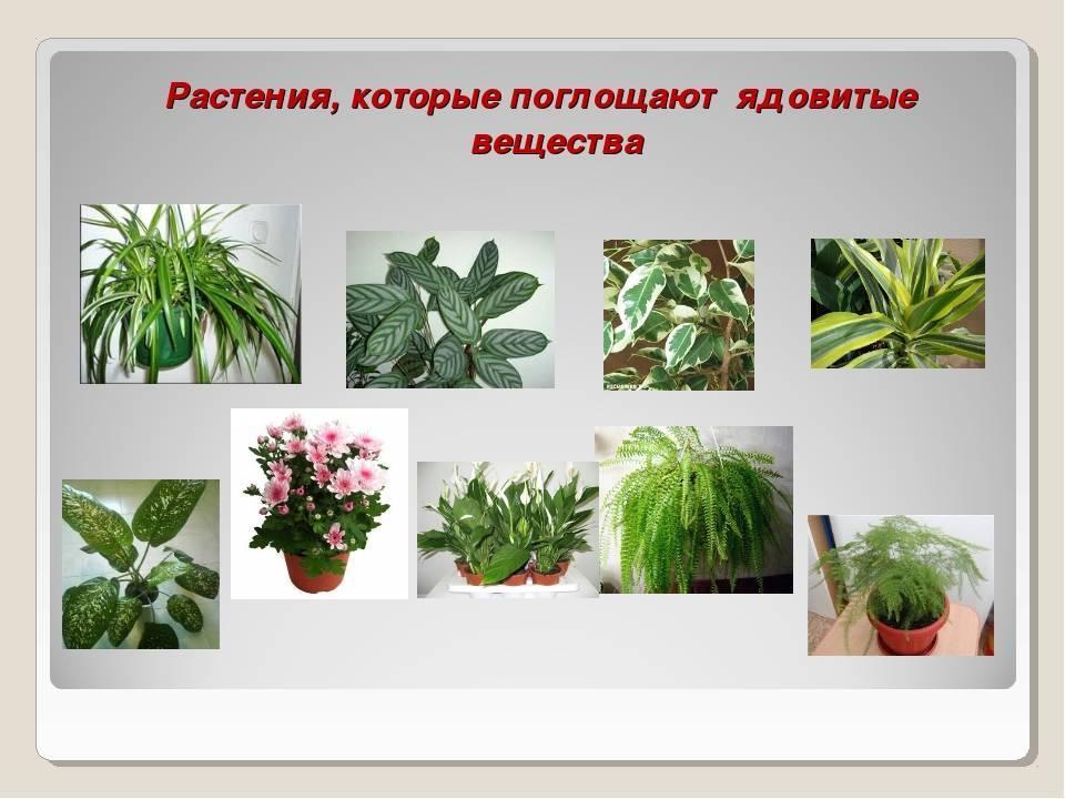 Самые вредные и ядовитые комнатные растения: фото, названия, виды и подвиды