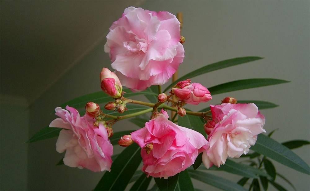 Цветок олеандр: выращивание в домашних условиях, посадка и уход, размножение