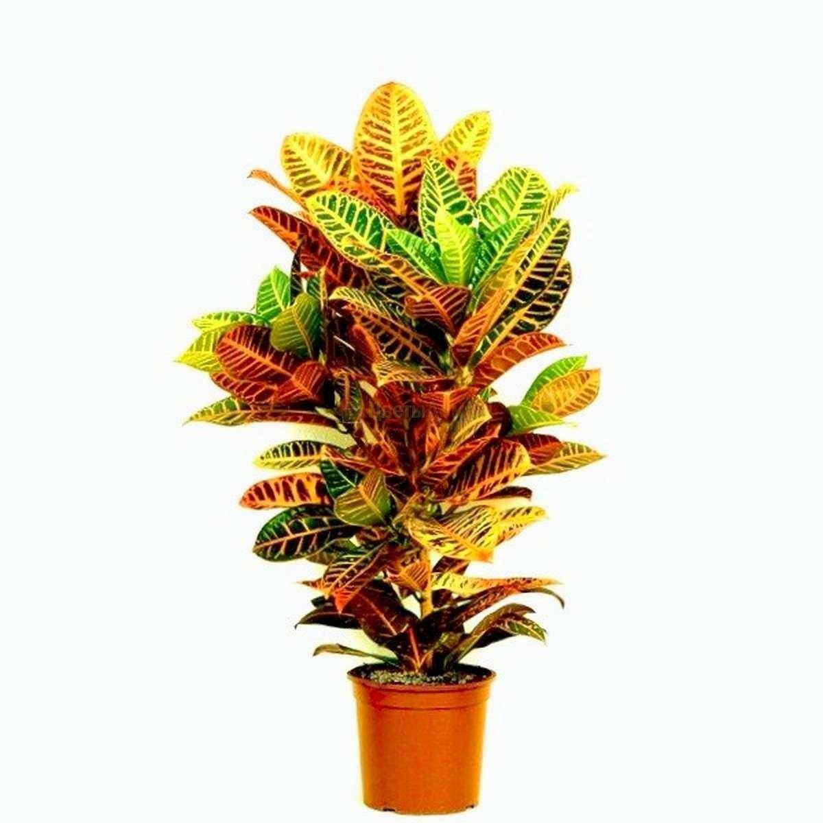 многолетний кустарник кодиеум экселент: уход в домашних условиях, возможные проблемы при выращивании