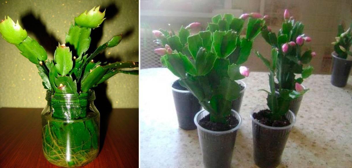 Как ухаживать за цветком декабрист (шлюмбергера) в домашних условиях :: инфониак