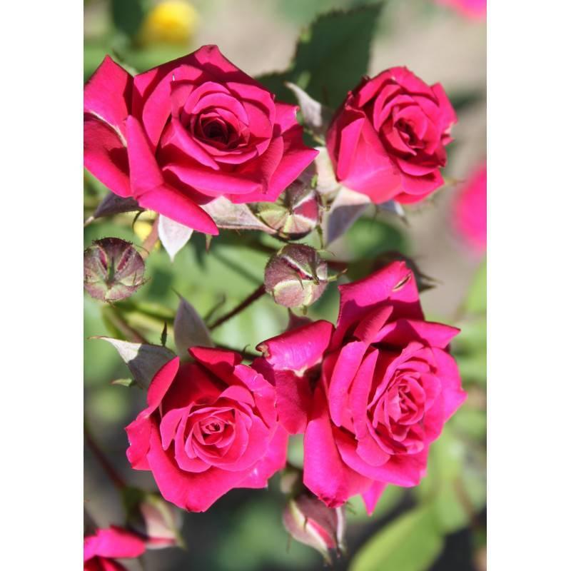 Роза спрей: описание, сорта, посадка и уход за растением