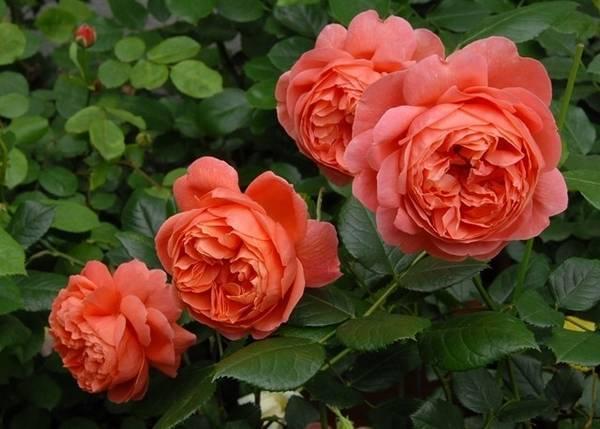 О розе саммер сонг (summer song): описание и характеристики сорта английских роз