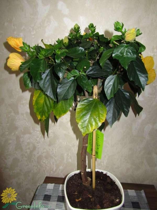 Почему желтеют и опадают листья у гибискуса комнатного и что с этим делать?