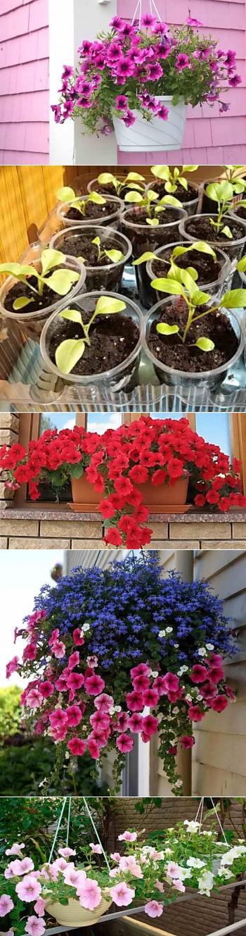 Как размножить петунию черенкованием весной