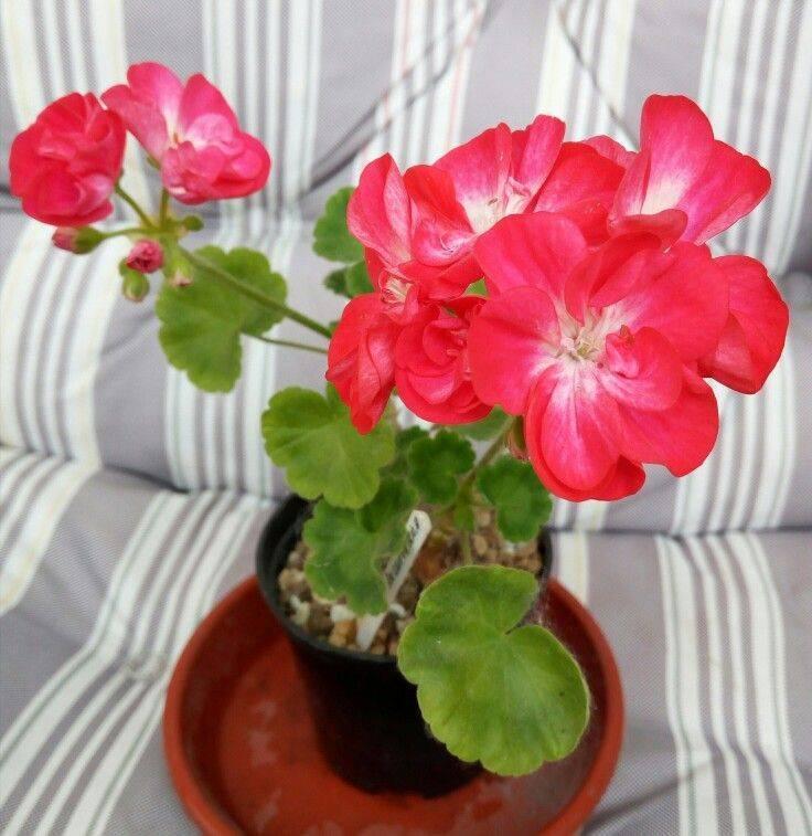 Прекрасное декоративное растение – пеларгония. сорта цветка, фото, краткое описание и принципы ухода