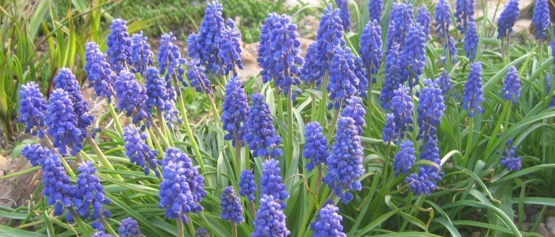 19 красивых луковичных комнатных растений с фото и описанием
