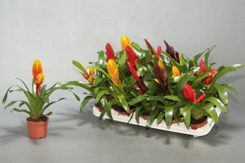 Вриезия — уход в домашних условиях и виды комнатного растения ?