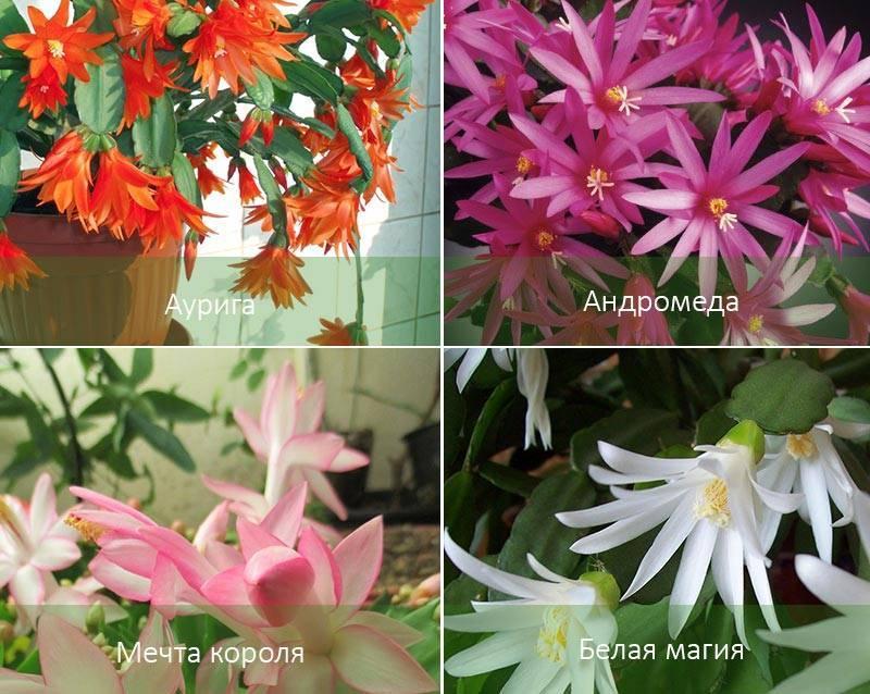 """""""рипсалидопсис"""" (пасхальный кактус): уход в домашних условиях, фото, виды цветка """"rhipsalidopsis"""""""