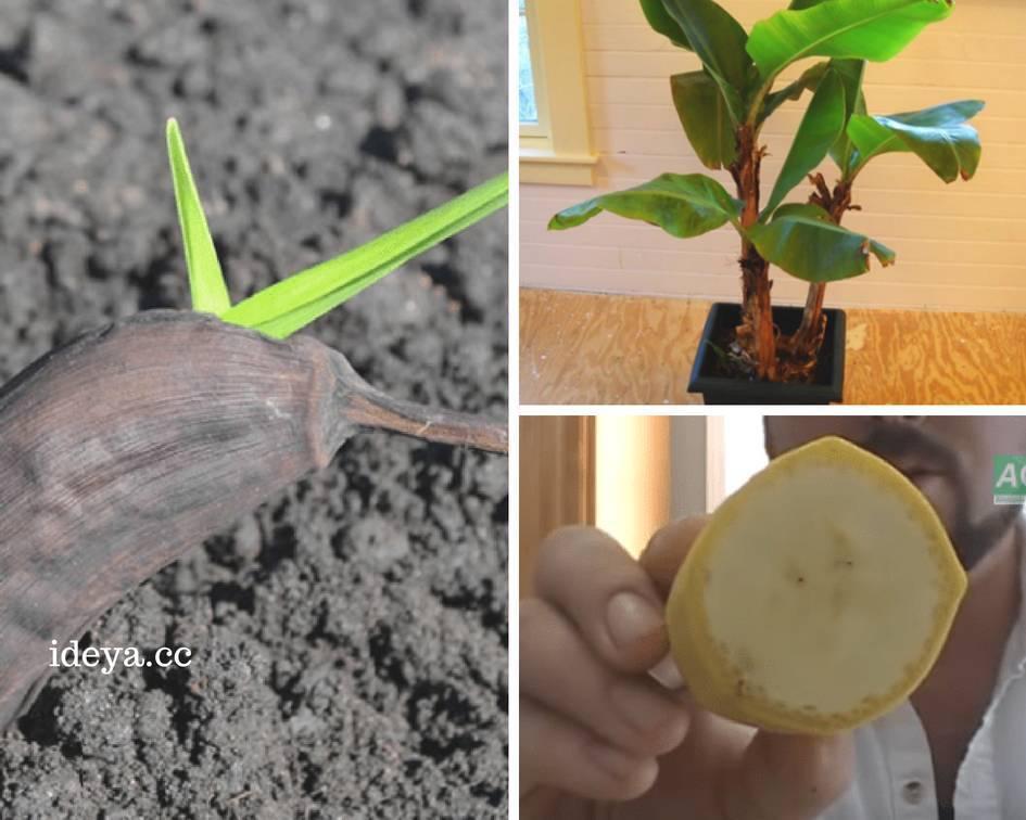 Как выращивать бананы в домашних условиях