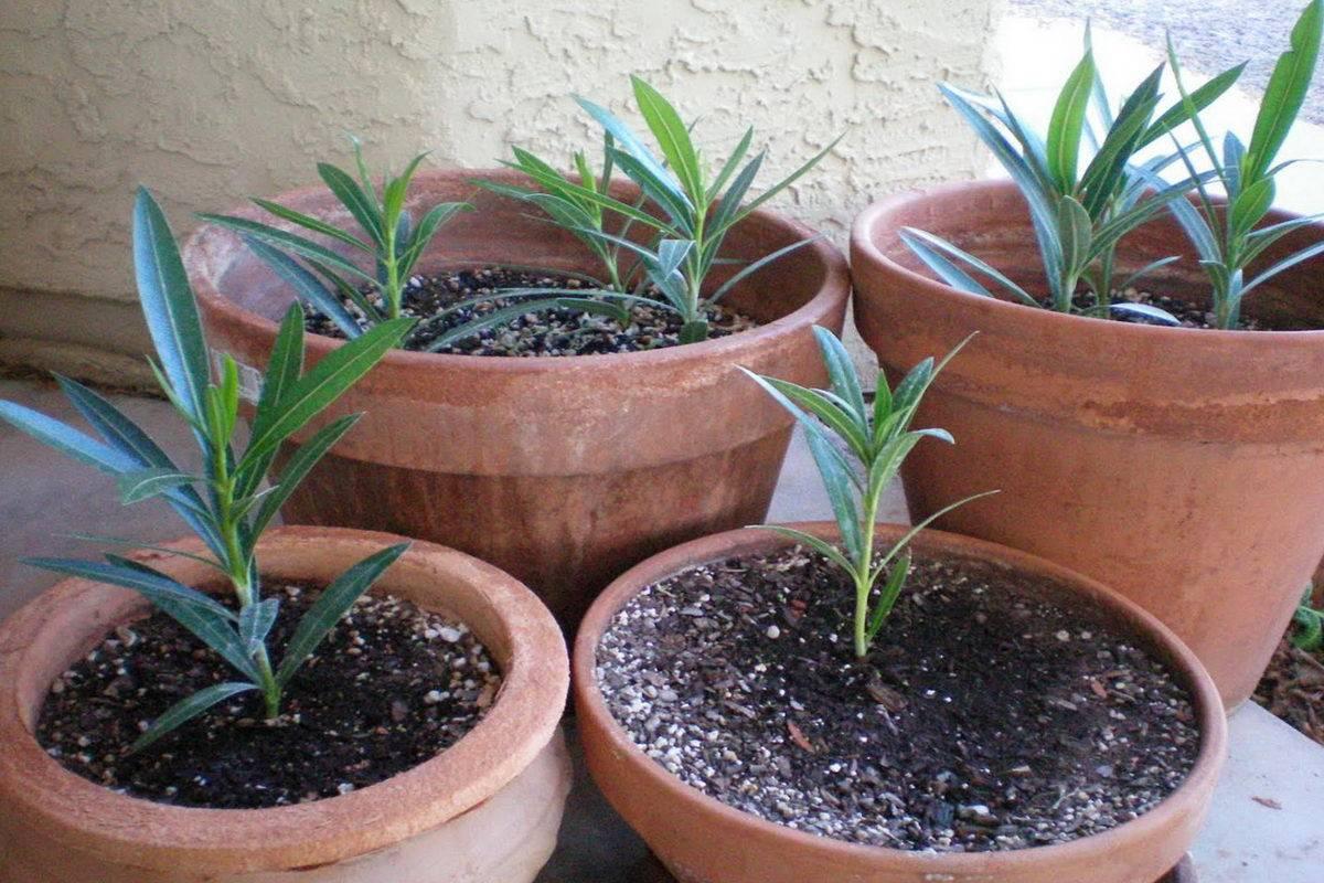 Плюмерия - секреты выращивания