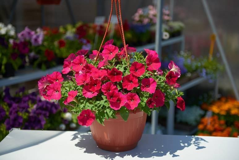 Петуния в кашпо (40 фото): самые лучшие сорта петуний для подвесных кашпо. как правильно их сажать? чем подкармливать петунию для обильного цветения?