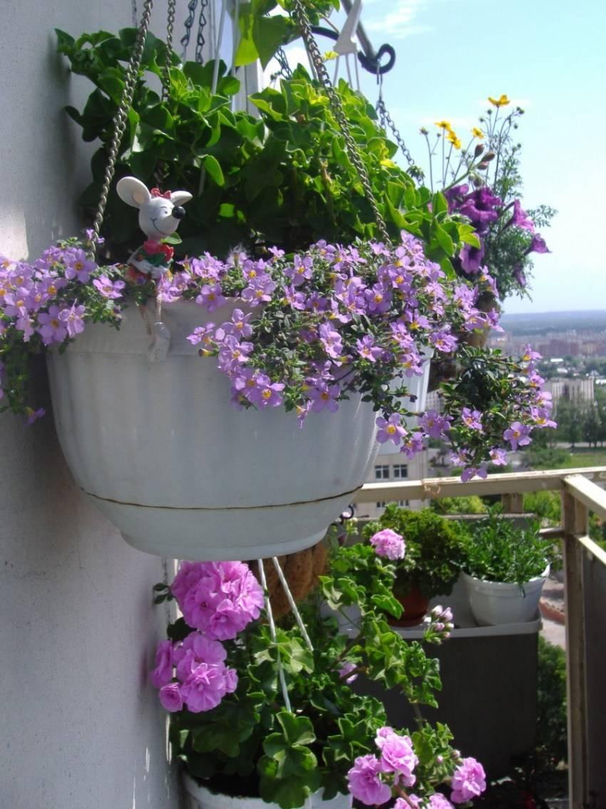 Бакопа в кашпо: уход и выращивание в саду, композиции с бакопой