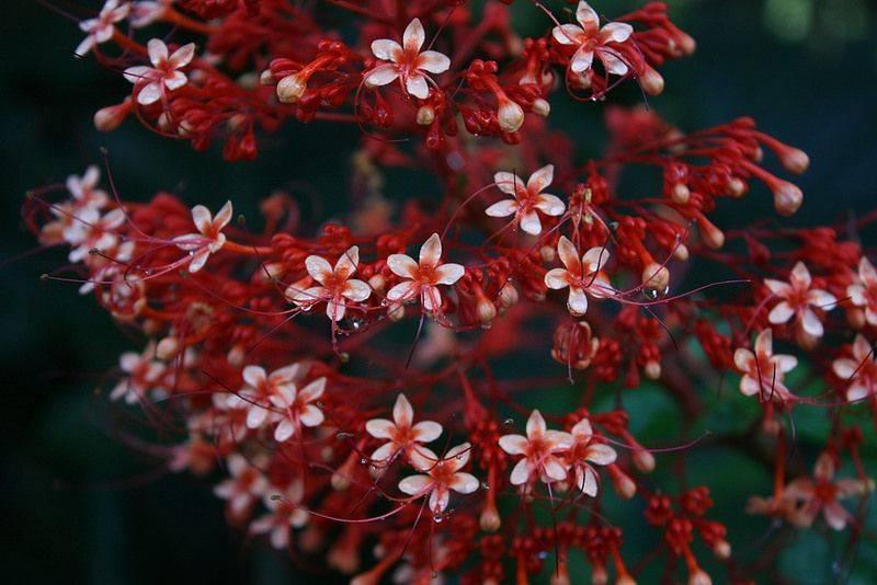 Клеродендрум прекраснейший: описание и фото растения, особенности выращивания