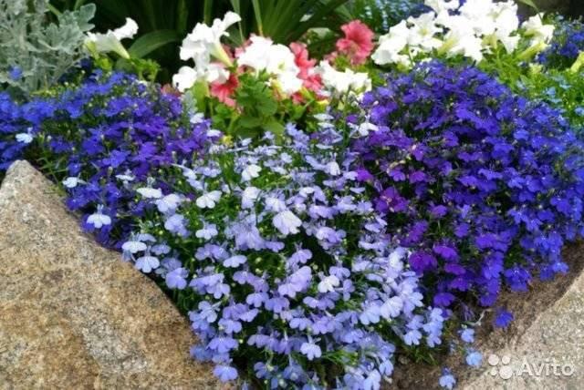 Лобелия (51 фото): особенности посадки и ухода за цветами. как выращивать в открытом грунте? где в саду посадить растение?