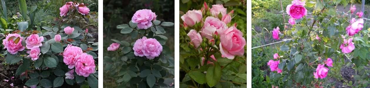 Парковые розы — что это за вид и сорт такой