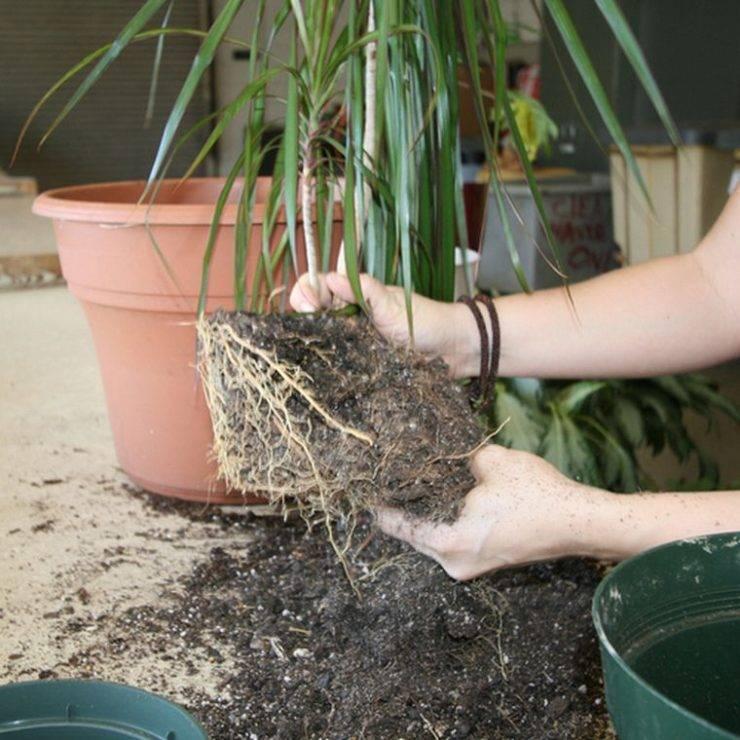 Хлорофитум хохлатый: уход в домашних условиях, фото, размножение