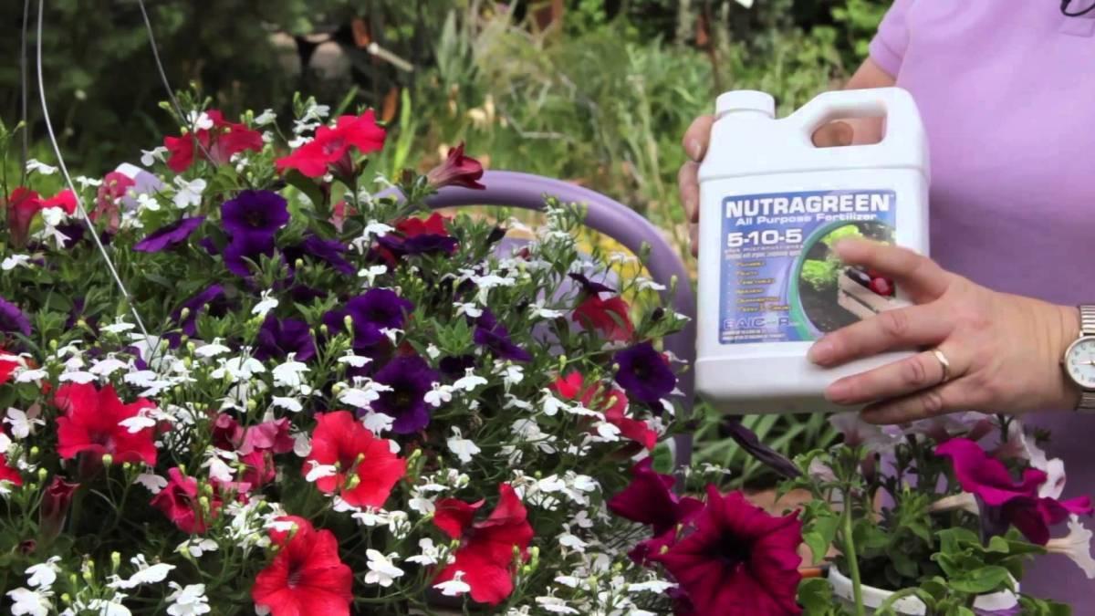 Выращивание петунии и уход за ней в домашних условиях