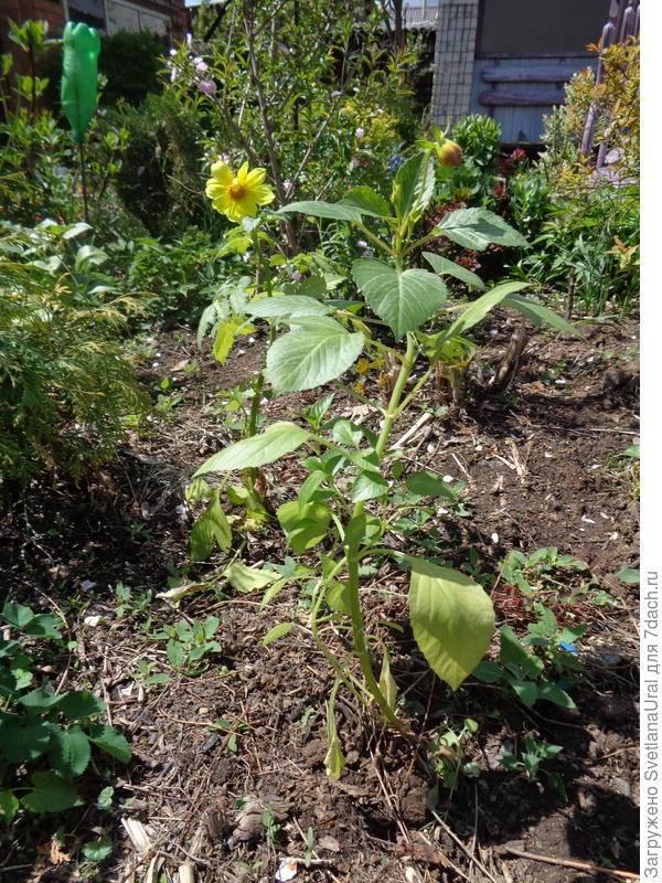 """Георгины """"веселые ребята"""": выращивание из семян, посадка и уход за цветами, когда сажать?"""