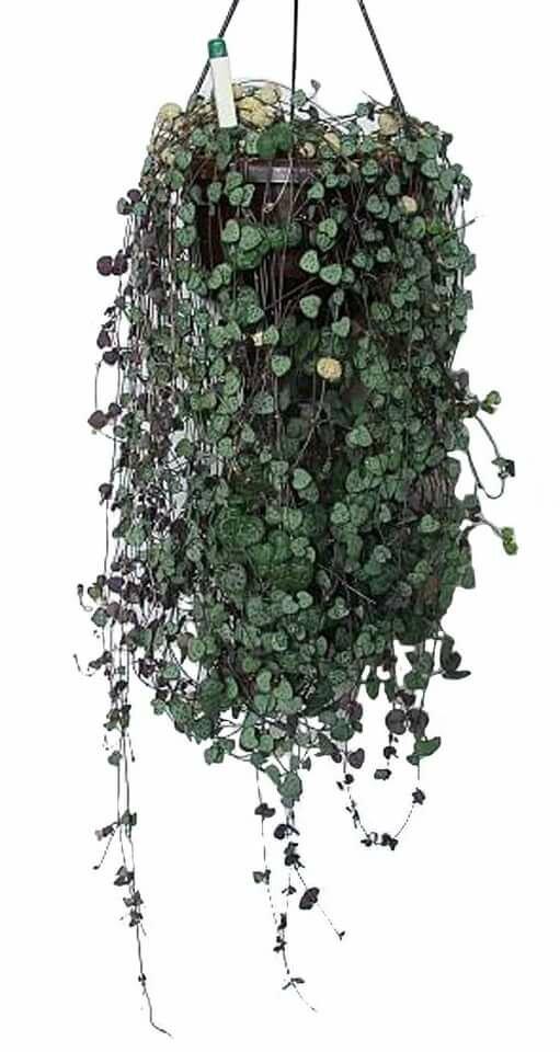 Комнатный цветок церопегия или канделябр: как вырастить суккулентную лиану