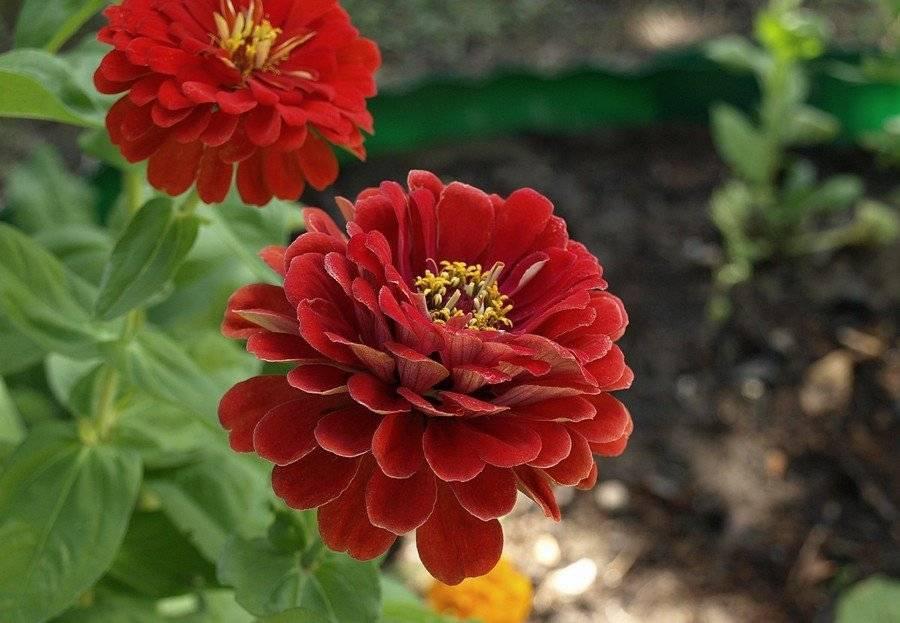 Прекрасная цинния: сорта, выращивание и болезни