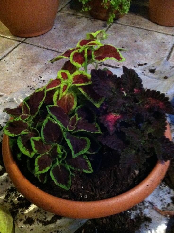 Колеус — «дачная крапивка»: посадка выращивание и уход
