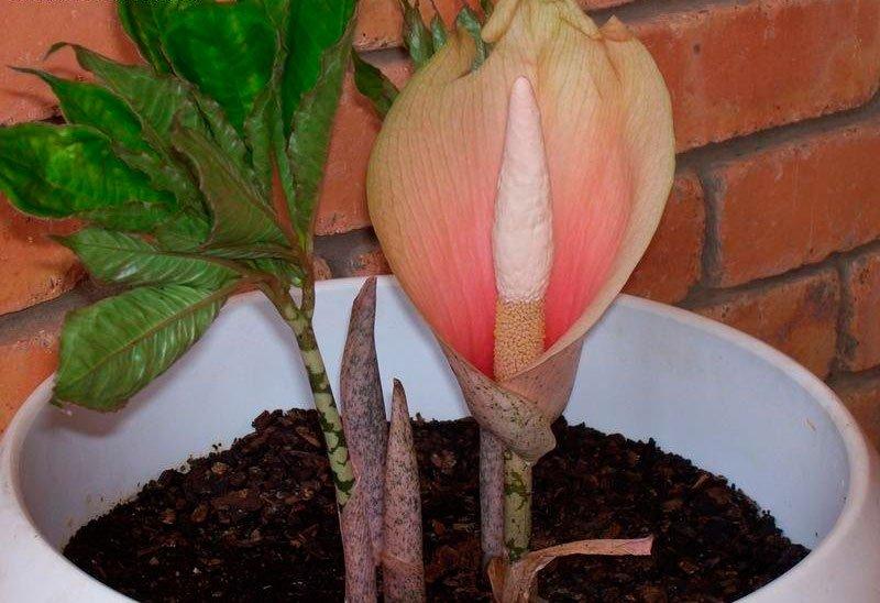 Самый большой цветок в мире аморфофаллус титанический
