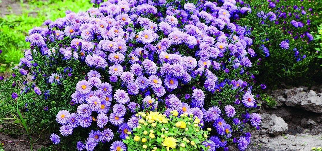 Астра цветок — как выглядит, расцветки листьев