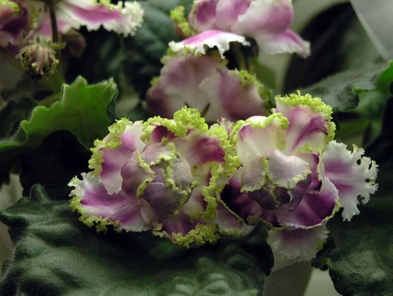 Особенности и выращивание фиалок ле-роза ветров