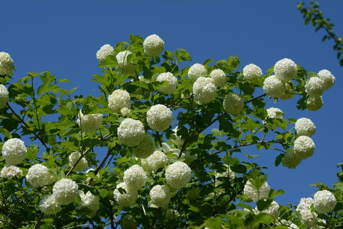 Бульденеж, или снежные шары летом