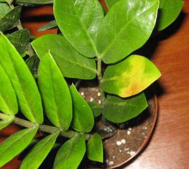 Нюансы и технология деления замиокулькаса: как правильно рассадить долларовое дерево?