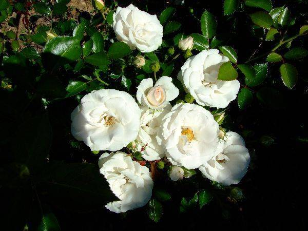 Описание и характеристики декоративного сорта розы аспирин из группы флорибунда