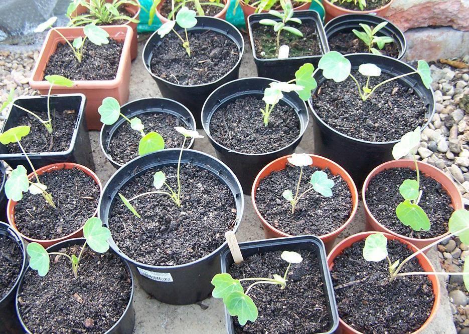 Выращивание настурции из семян