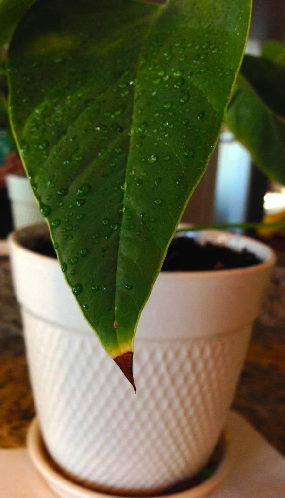 Что делать когда у драцены сохнут кончики листьев