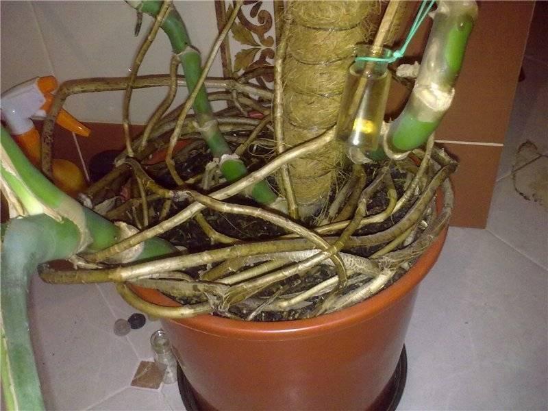 Комнатное растение монстера уход в домашних условиях размножение и пересадка фото видов