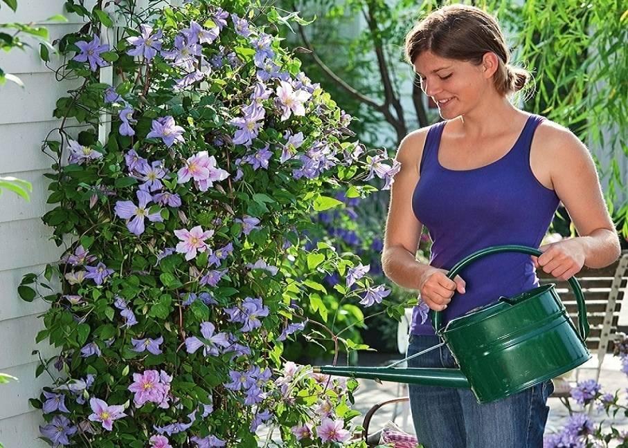Клематисы: подкормка для пышного цветения, обрезка перед зимой осенью, чем удобрить