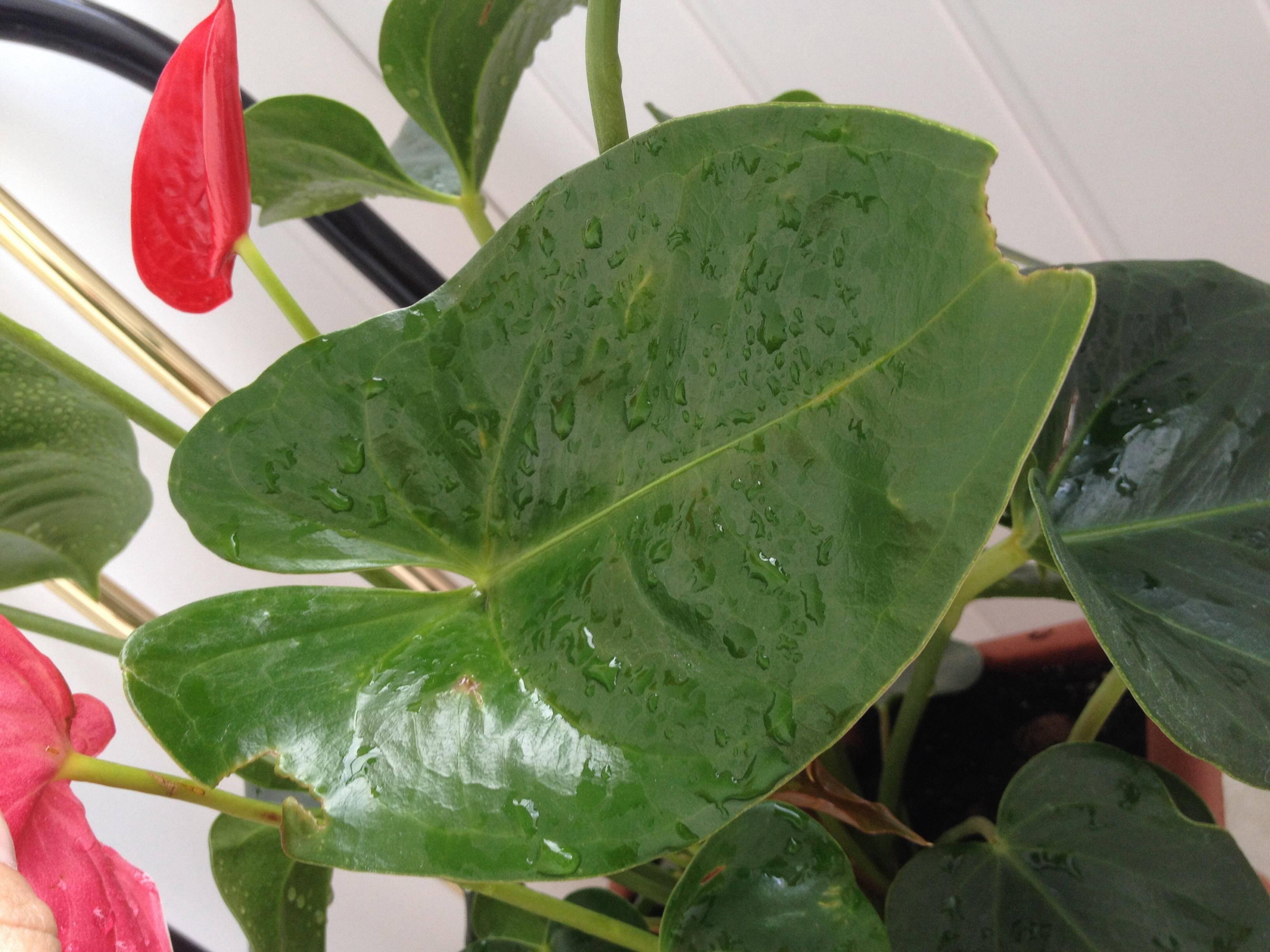 Сохнут кончики листьев у антуриума? почему это происходит и что нужно делать?