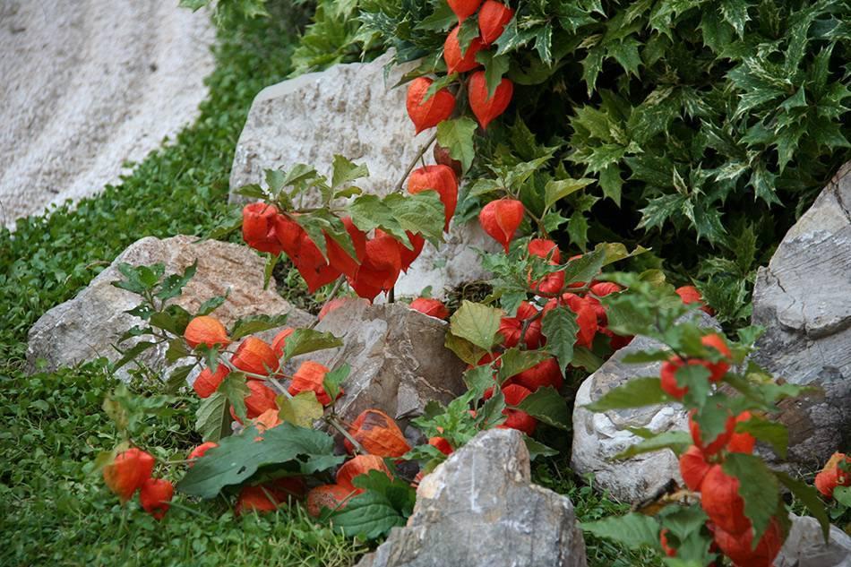 Физалис: яркая ягода в вашем саду